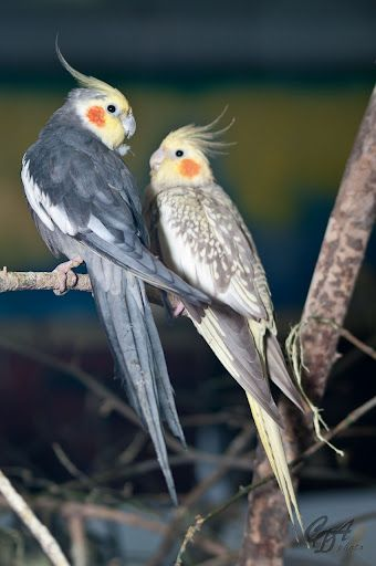 Cockatiels, Australia's smallest species of cockatoo. Originally naturally grey, there are now 15 recognised colour mutations altogether.