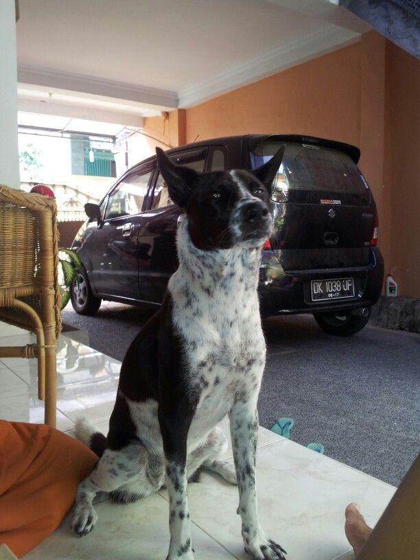 My balinese dog