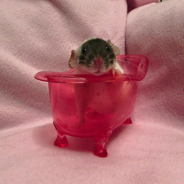 Rat with his very own old fashioned claw foot tub.. how sweet it is
