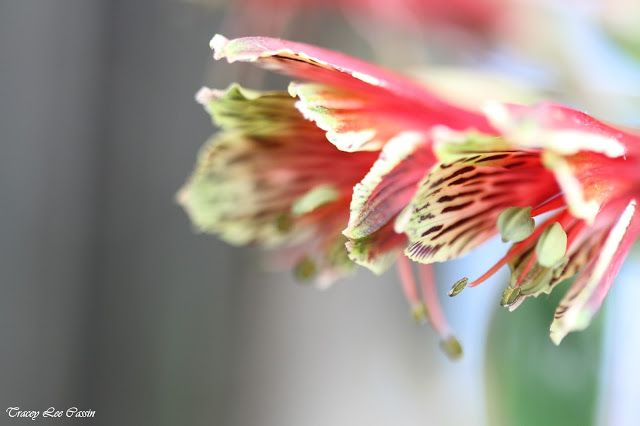 Tracey Lee Cassin Photography... Alstroemeria flowers
