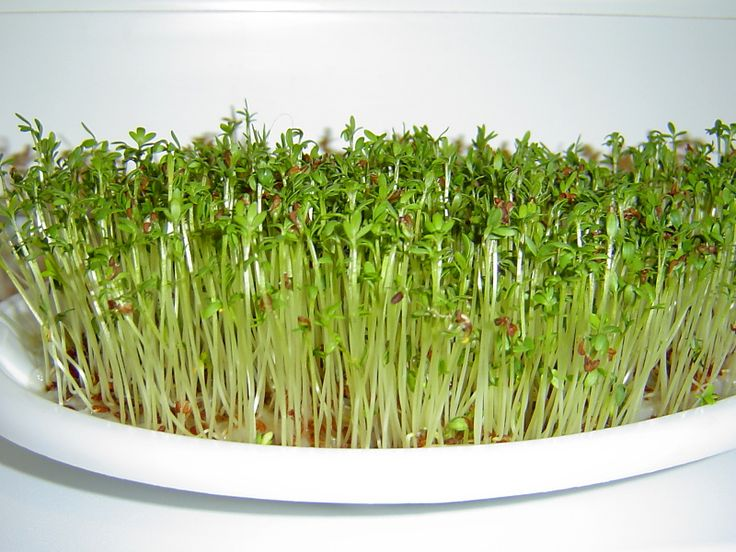 Řeřicha a její pěstování