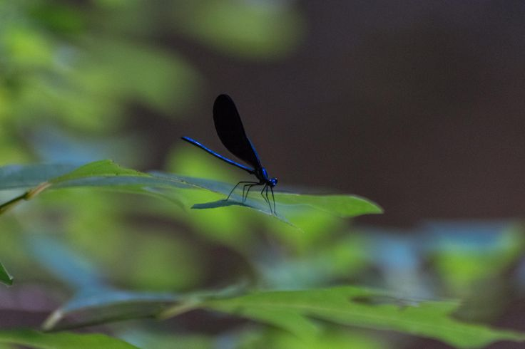 [OC] [6000x4000] First picture I ever attempted at taking insect pictures definitely happy with the results. Broad Winged Damselfly