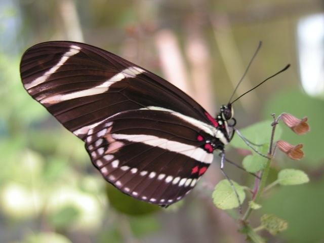 Zebra Longwing (Heliconius charithonia): Heliconius Charithonia, Nature Lovers, Butterflies Gardens, Wings Ƹ̵̡Ӝ̵̨̄Ʒ, Gardening Ideas, Longw Heliconius, Mariposas Butterfly, Wings Things, Moth Spots