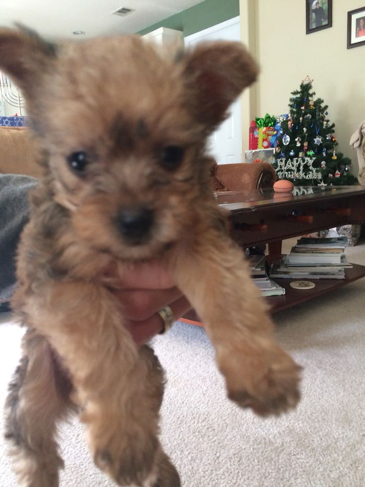 Chihuahua Yorkie Mix Puppies Chorkie Half Yorkie Half Chiwawa