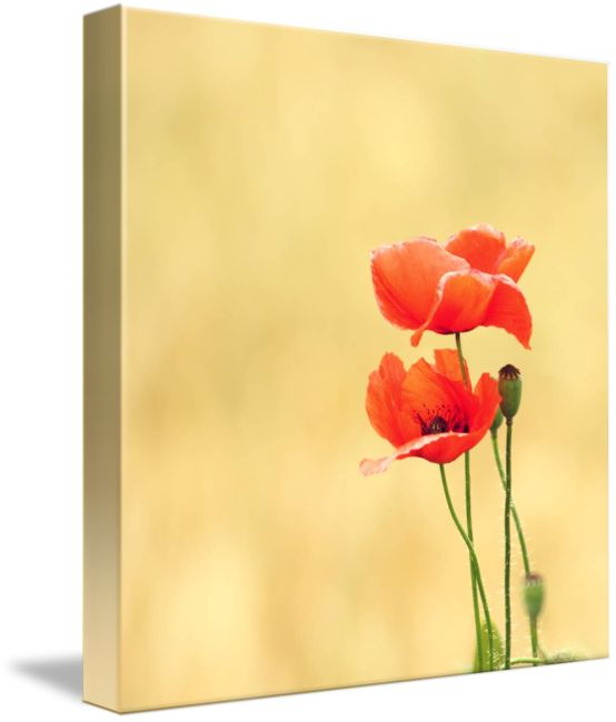 30 best Inspiration for poppy painting images on Pinterest | Poppies ...