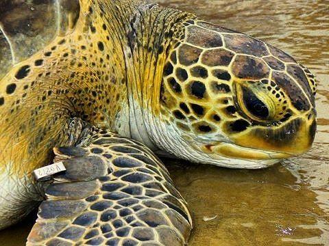 Las tortugas marinas como esta tortuga verde son reptiles que aunque pasan la mayor parte de su vida en el mar la inician en la arena de las playas como frenéticos tortuguillos que se abren camino al mar y solo las hembras cuando son adultas vuelven a la arena a poner sus huevos.  En las playas de Venezuela ponen sus huevos la tortuga cardón la caguama la carey y la verde. Para quienes nos dedicamos a estudiar a estos interesantes animales resulta necesario identificar a cada tortuga y para…