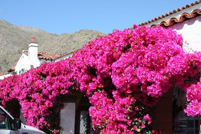 The bougainvillea creates the boldest visual impact, with its vines twisting and climbing to display a cascade of showy blossoms. This drought tolerant ornamental makes for an excellent tropical or desert garden plant.