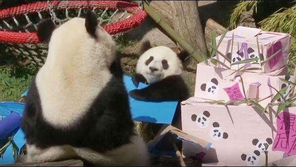 オーストリアの首都ウィーンのシェーンブルン動物園で8月7日、ジャイアントパンダの双 - Yahoo!ニュース(アフロ)