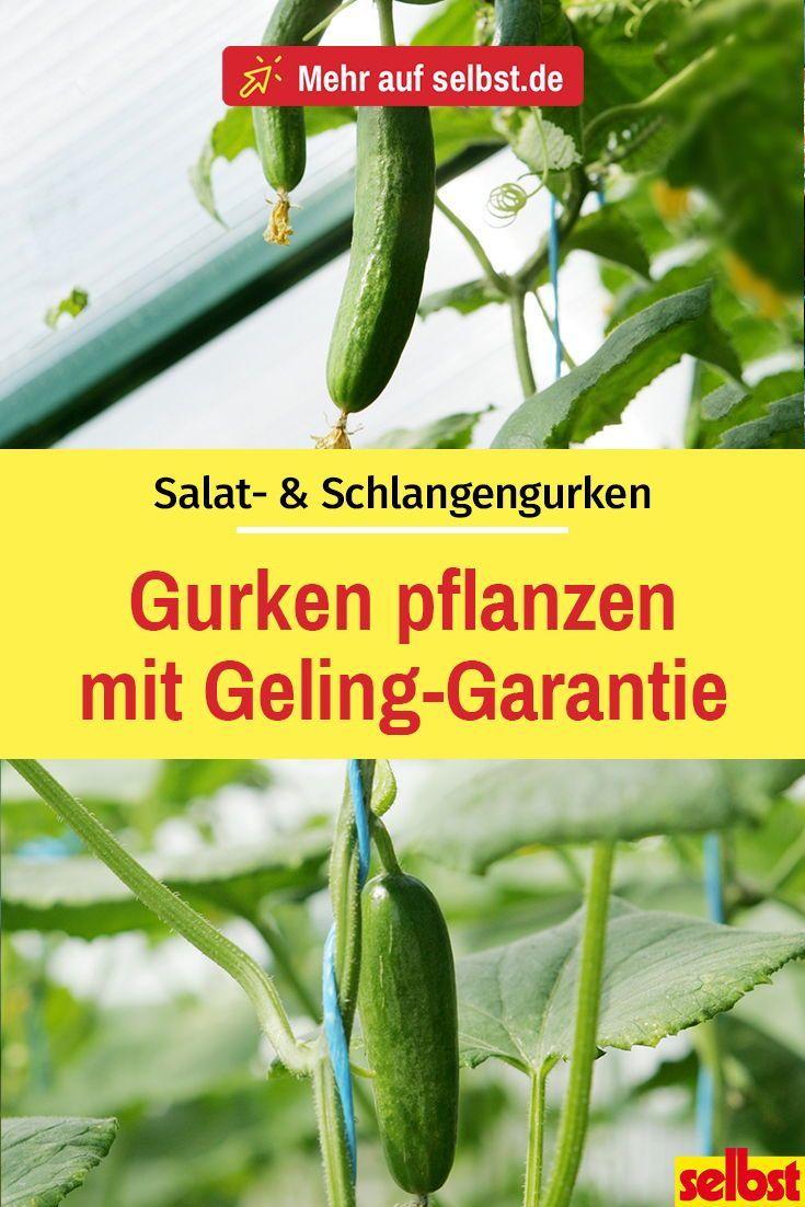 Gurke Pflanzen Gurken Selbst Ziehen Mit Diesen Tipps Zum Anbau Von Salatgurken Wirst Du Dieses Ja Cucumber Gardening Garden Plants Vegetable Cucumber Plant