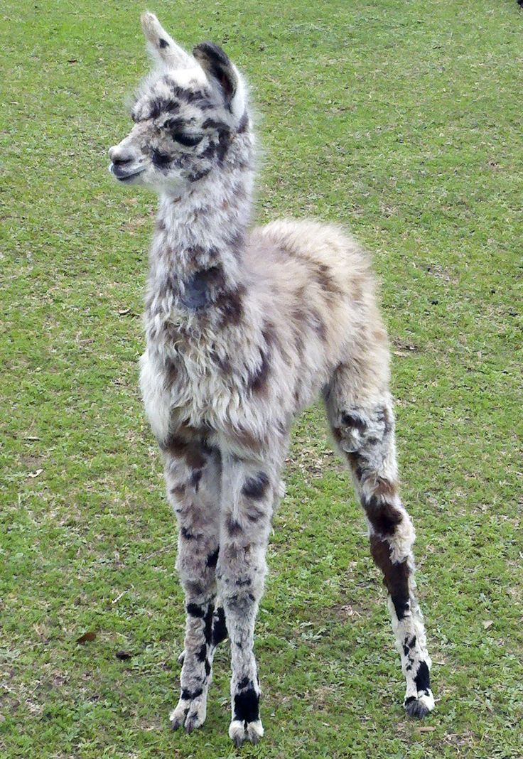 Dakota - cria born at Figment Ranch (glad to see Figment is still around!) - She looks like my Mysti - what a cutie! #llama #cria tå√