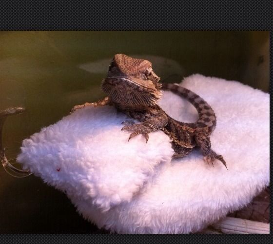 BEARDED DRAGON ATTACHABLE SUCTION RESTING BED /MICROFIBER COVERS 4 JUVENILE  | eBay