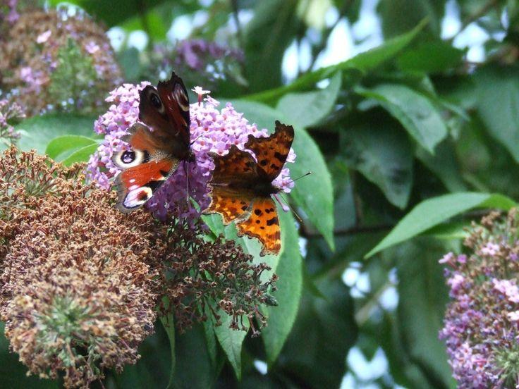 Peacock & Comma Butterflies in the garden