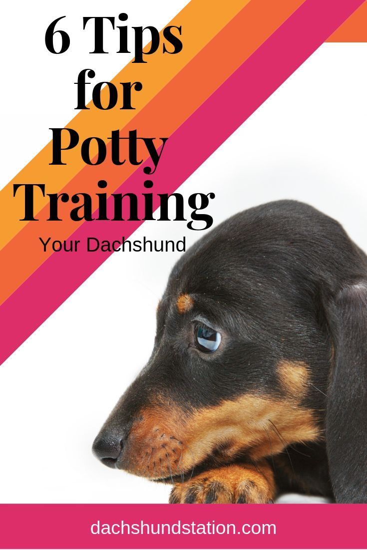 6 Easy Tips For Potty Training Your Dachshund Dog Training Tips