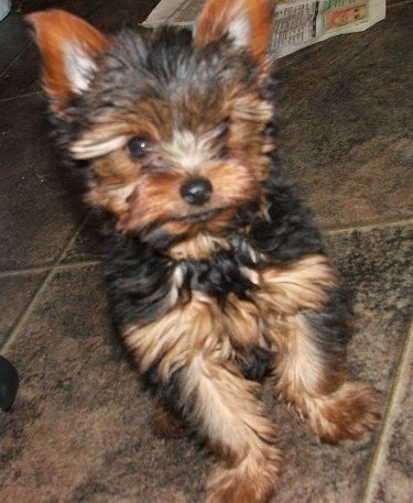 Teacup Yorkies for Adoption | Teacup Yorkie Puppies for Adoption