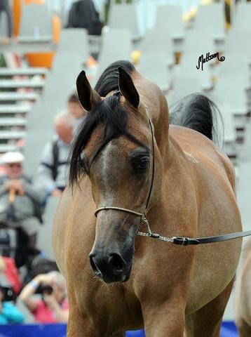 Arabian Horse Arabian Horse Show - Western Competition ...