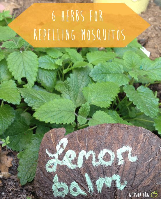 6 Herbs That Naturally Repel Mosquitoes and Fleas (via Gerson.org)