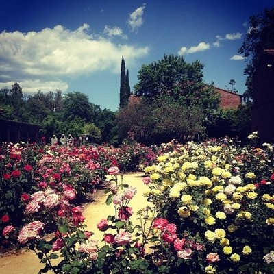 Stroll By The Rose Garden At Chico State. With More Than 350 Rosebushes And  More
