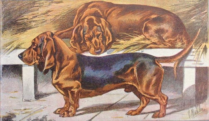 "Plate 52 - Basset Hounds. P. Mahler and J.B. Samat Illustrated plate from Les Chiens le Gibier et Ses Ennemis (The Dogs, the Game and their Enemies) Saint-Etienne, France: Mimard & Blachon, 1895-1931 Chromolithographs Sheet size: 7 ½"" x 11 ¾"" This splendid series of dog illustrations is based off of original watercolors by P.Mahler. The comprehensive work on species of hunting dogs, including beagles, hounds and retrievers, was produced by the company Mimard and Blachon. Each dog is shown…"