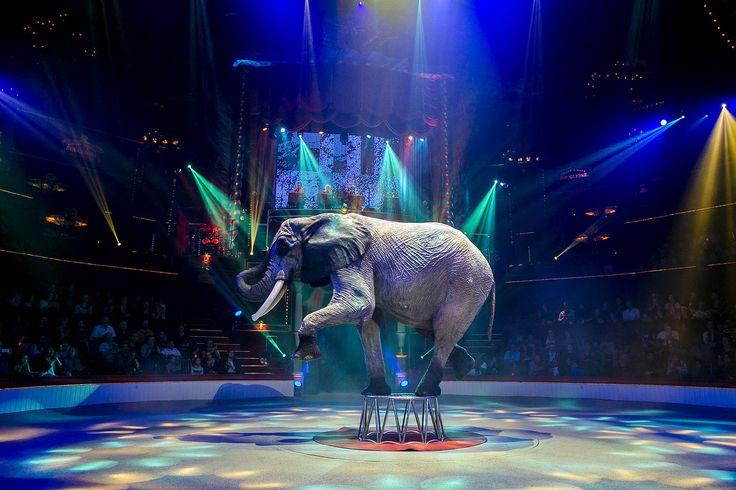 Les éléphants de Lars Holscher !   © Cirque d'Hiver Bouglione  Réservez vos places pour la Tournée : http://www.cirquedhiver.com/reservations/
