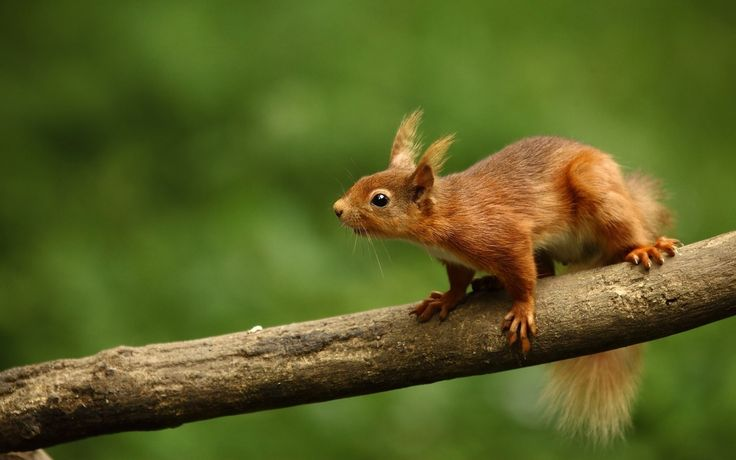 Free download squirrel wallpaper, 280 kB - Amanda Williams
