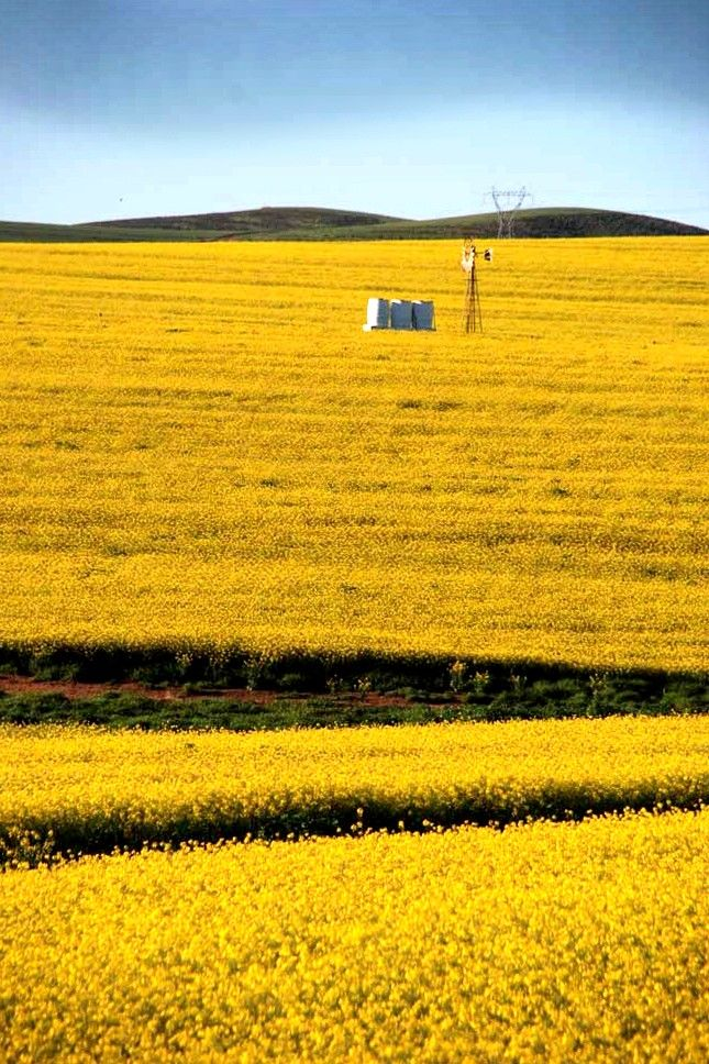 Canola fields in the Overberg