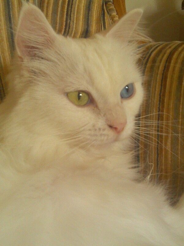 Coco the Turkish Angora