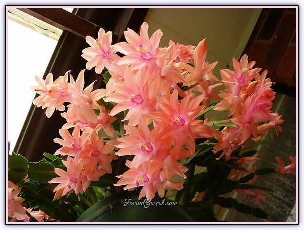 Yılbaşı Çiçeği | Özellikleri | Bakımı - Sayfa 3 - Forum Gerçek