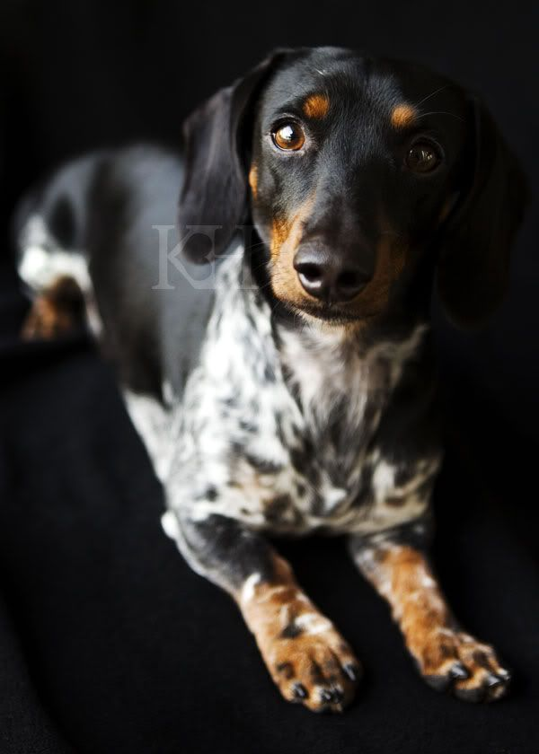 I want this dapple dachshund - love!