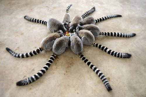 lemur circle #funny #animals ♥♥♥♥