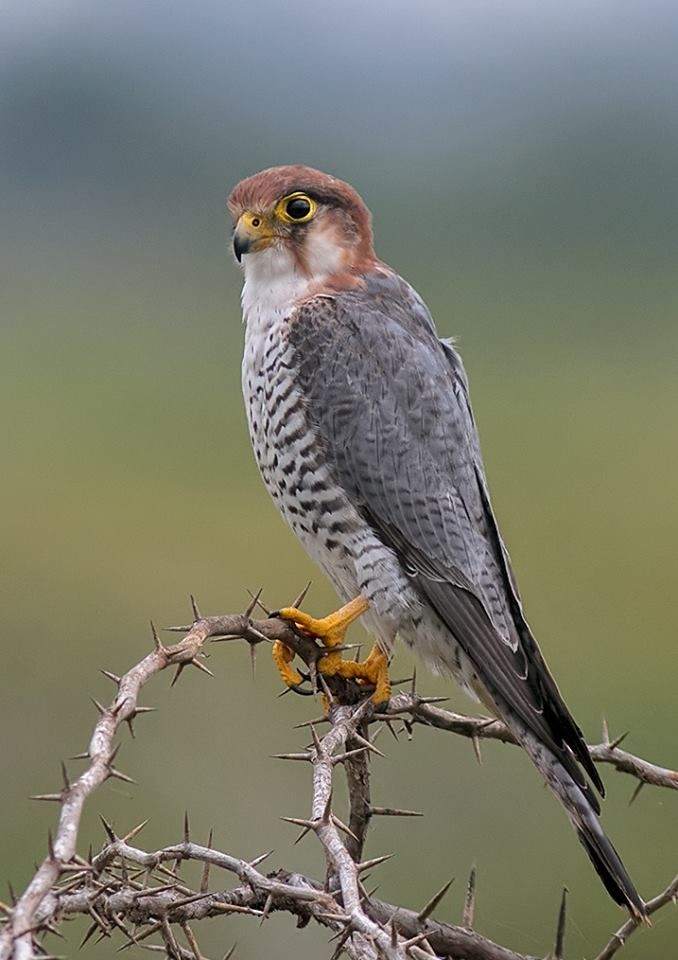 Red Necked Falcon Falco Chicquera Resident Of India And Sub Saharan Africa