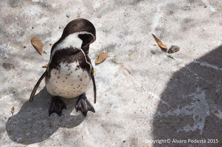 Un pingüino avergonzado ante la cámara