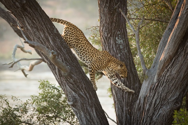 NUMBER 4: 'Leopard in a tree' captured by Don Ashabranner in July 2012, with Robin Hester as ranger.