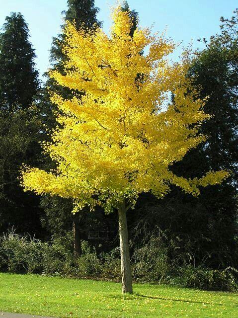 Ginkgo biloba (Japanse notenboom) Wordt 3 meter hoog