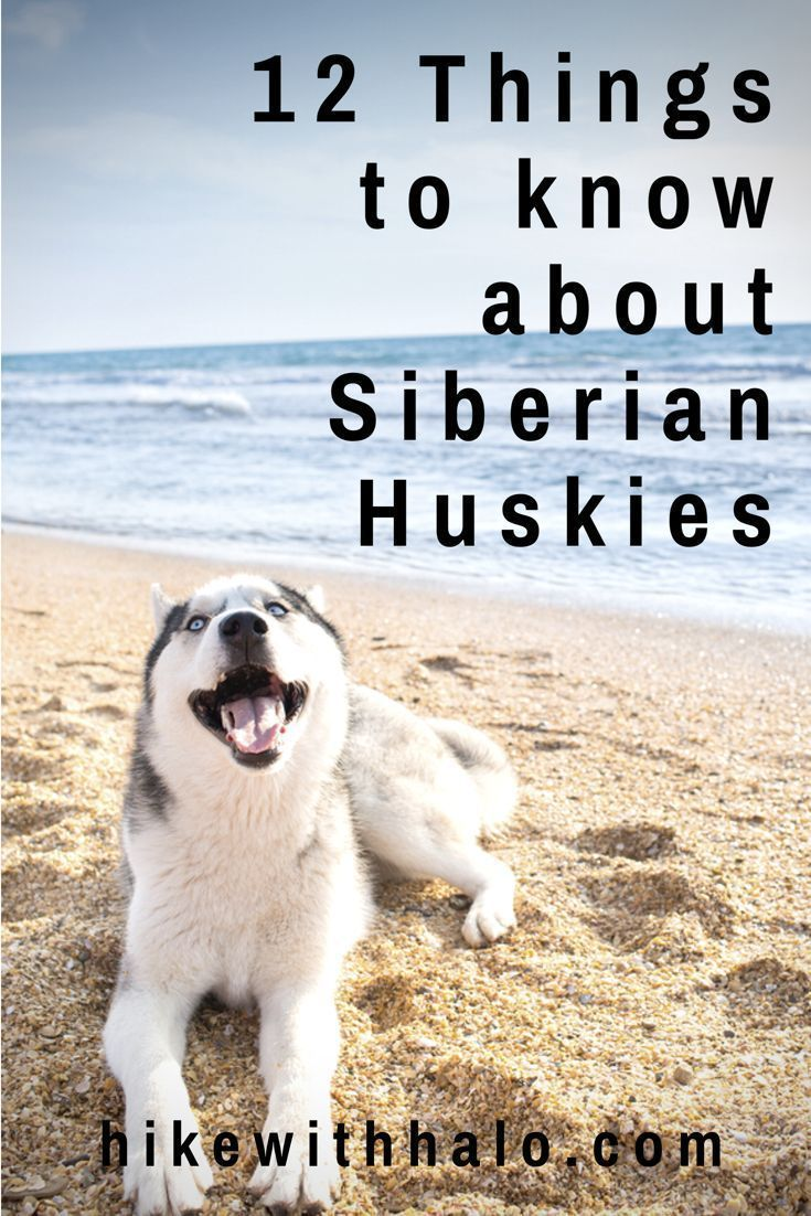 Siberian Huskies Personality Traits Facts Siberianhusky Huskies