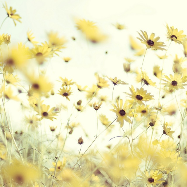 ❁ Soft Yellow ❁ Pale Yellow ❁ Pastel Yellow ❁ Light Yellow ❁ Lemon ❁ Spring Flowers