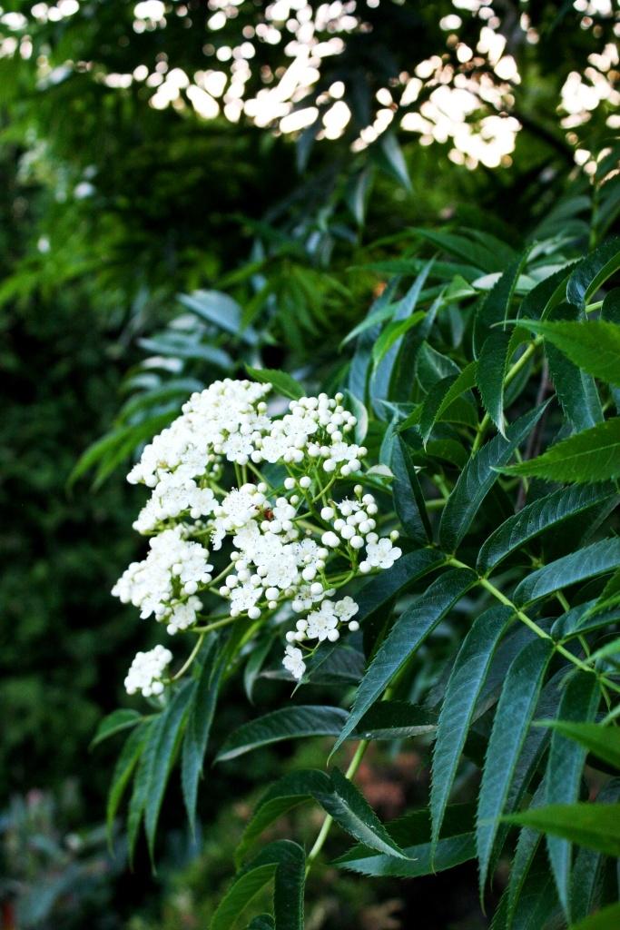 Skogstorpet Trädgårdsdesign [Gardendesign - Landscaping]: Flowers and leaf - 'Sorbus Dodong'