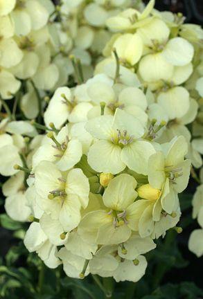 Erysimum concinnum 'Pt. Reyes Wallflower'. #BloomingNow #CaliforniaNativePlants