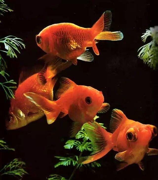 El pez Oro o Carpa Dorada fue práctiamente creado por los chinos hace por lo menos mil años. Cuando son jóvenes estos peces son marrones, cuando llegan al tamaño de 4cms alcanzan el color dorado y bajo condiciones de hábitat muy cálidas.  A través de selectividad, se produce formas delicadas, con colas en forma de abanicos, cuerpos de peces dorados más cortos y ojos más grandes. Los dorados, raramente en estado natural puede verse un pez de absoluto y hermoso color dorado. En realidad, esto…