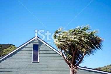 Windswept Cabbage Tree, New Zealand Royalty Free Stock Photo