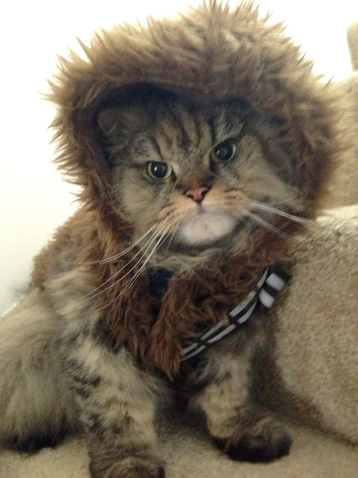 grumpy cat wedding invitations%0A chewbacca chewie star wars costume cat hairy grouchy grumpy cute halloween  outfit