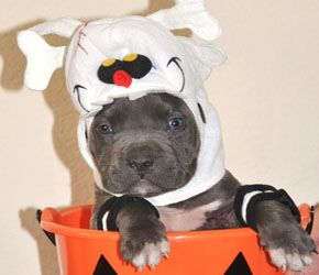 Pitbull Pictures | Bully Pitbull Puppies Pictures Happy Halloween