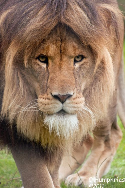Linton Zoo: Lion by Chris Humphries
