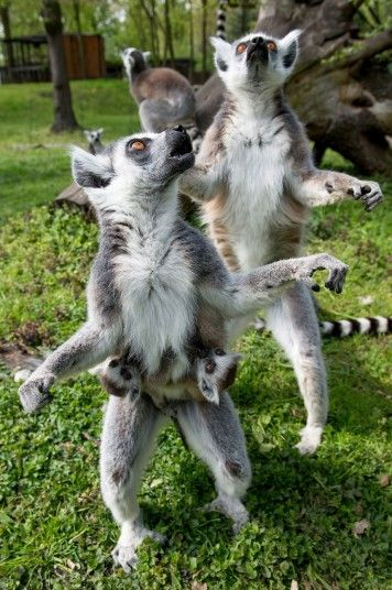 Young ring-tailed lemurs cling to their mother in their enclosure in Wroclaw's Zoo, Poland