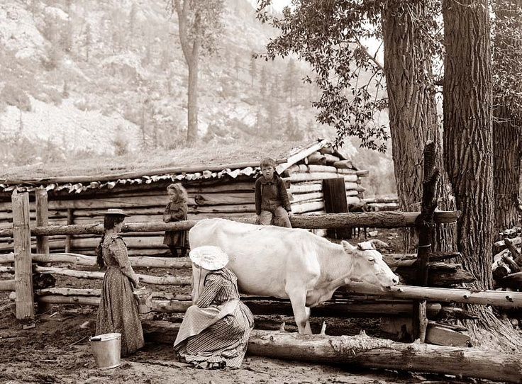Milking Cow 1900