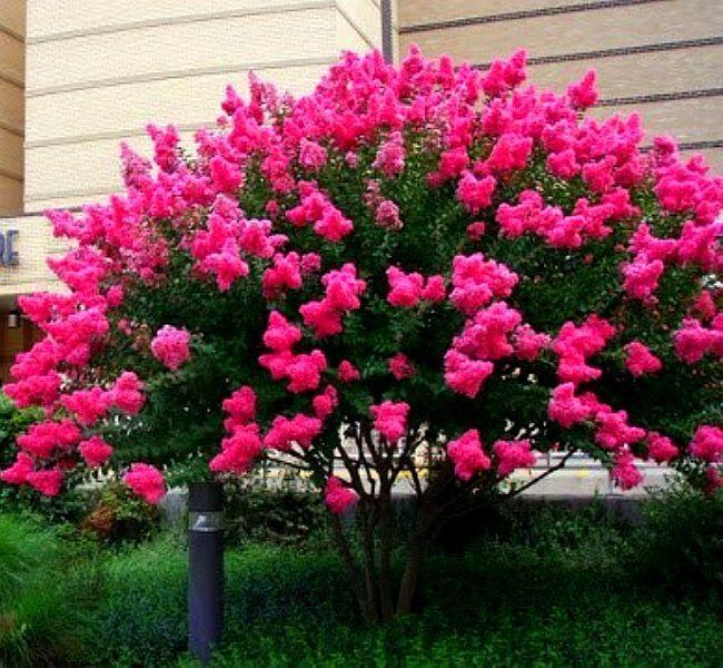 Informacje O Najdluzej Kwitnacy Krzew Swiata Lagerstroemia 7858047935 W Archiwum Allegro Data Zakonczenia 2019 04 22 C Trees To Plant Plants Flower Garden