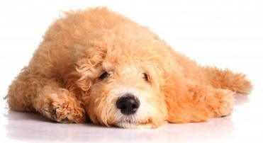 Find Goldendoodle dogs and puppies for adoption by owner throughout the USA and Canada on Pet Net. Goldendoodles for adoption by owner.