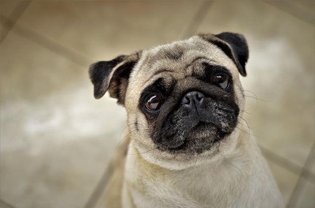 Pug Dog Breed Information Black Pug Puppies Cute Pugs Dog Breeds