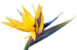 les 25 meilleures id es de la cat gorie oiseau du paradis sur pinterest espece d oiseau. Black Bedroom Furniture Sets. Home Design Ideas
