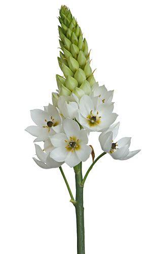 Star of Bethlehem.  Growing info: http://extension.usu.edu/weedguides/files/uploads/liliaceae.pdf