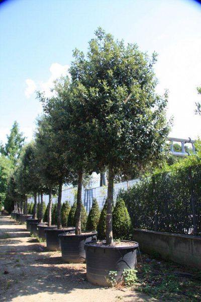 De enige groenblijvende boom, die past in ons vlaamse landschap